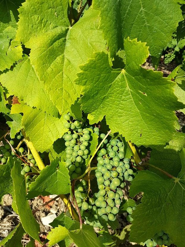 Comment fait du vin raisins