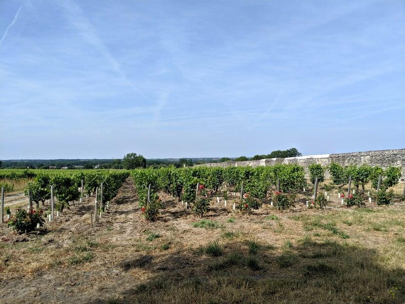 Comment fait du vin Vigne 1